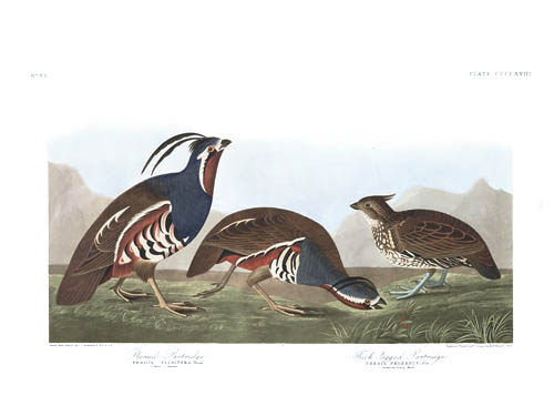 Mountain Quail & Crested Bobwite